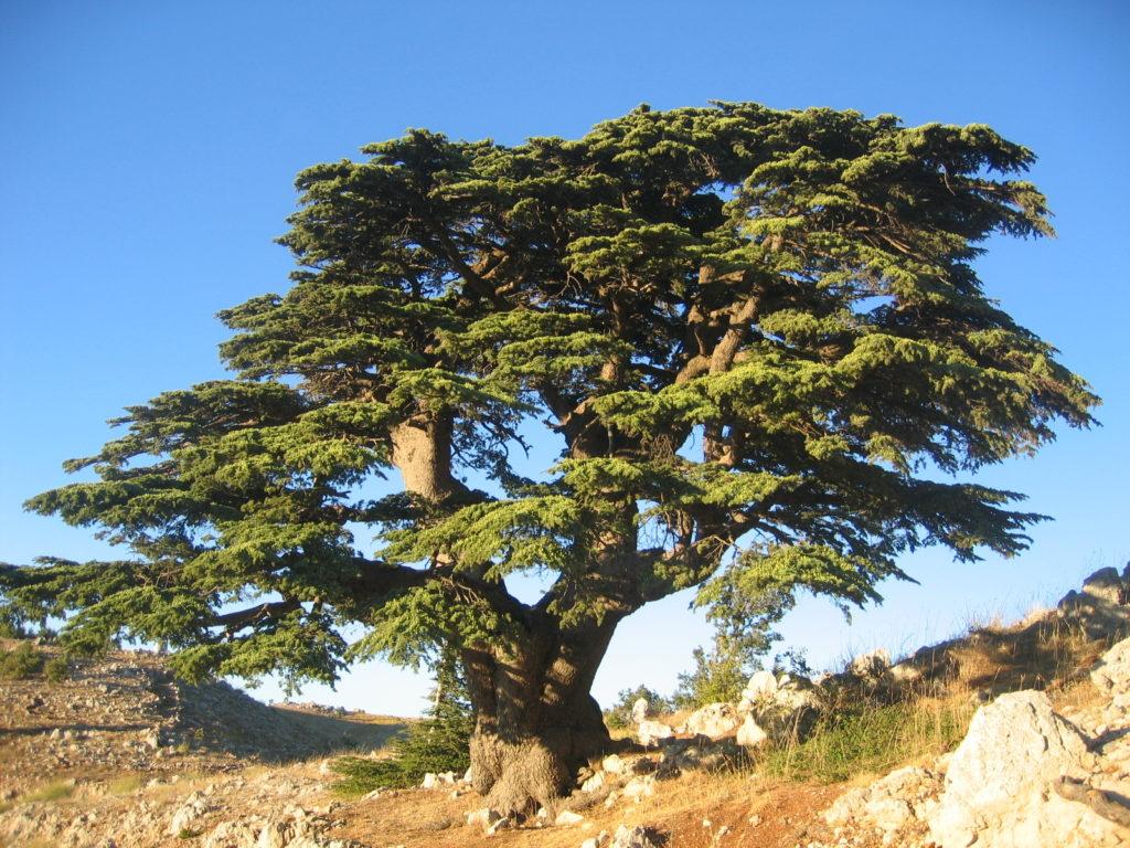 Cèdre_du_Liban