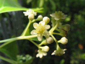 la petite fleur de camphrier